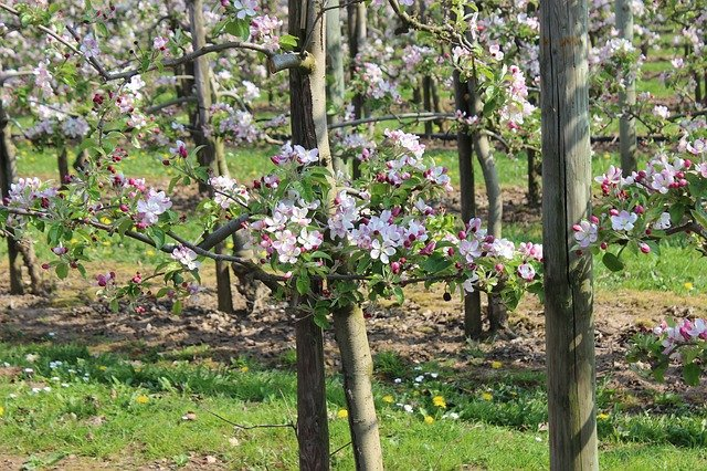 rozkvetlé jabloně
