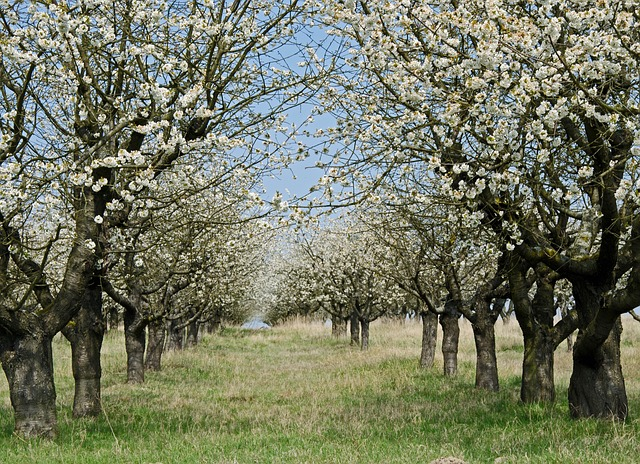ovocný sad na jaře